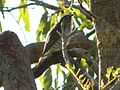 Shining Bronze Cuckoo (Chrysococcyx lucidus) 03.JPG