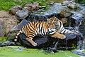 Siberian Tiger (38730837105).jpg