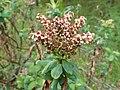 Sibiraea laevigata kz18.jpg