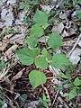 Sida cordifolia 01.JPG