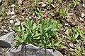 Silene latifolia in Jardin Botanique de l'Aubrac.jpg