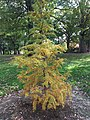 Silent Sam tree.jpg