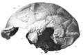 Sinanthropus Skull X lateralis sinistra.png