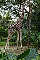 Singapore Zoo Giraffe eating-3 (8321601436).jpg