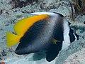 Singular bannerfish (Heniochus singularius) (47285642772).jpg