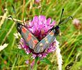 Six-spot Burnet. Zygaena filipendulae stephensi - Flickr - gailhampshire.jpg