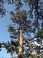 Skógarfura (Pinus sylvestris) - Wachthüttelkamm (Rax).JPG
