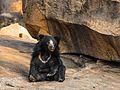 Sloth Bear-3302.jpg
