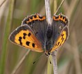 Small Copper Butterfly 1 (4885629999).jpg
