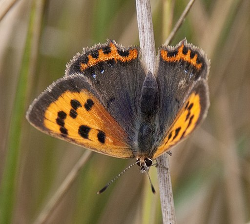 Small Copper Butterfly 1 (4885629999)