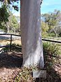 Smooth Angophora trunk, ANBG.jpg
