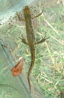 Mindre vattensalamander (Lissotriton vulgaris)