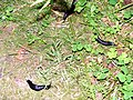 Snails at Millbuies - geograph.org.uk - 1346566.jpg