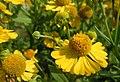 Sneezeweed blooming on Horseshoe Bend Division (6189021315).jpg
