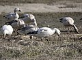 Snow Goose 197.jpg