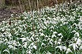 Snowdrops near Henwood House - geograph.org.uk - 1222346.jpg