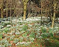 Snowdrops through beech leaves - geograph.org.uk - 683063.jpg