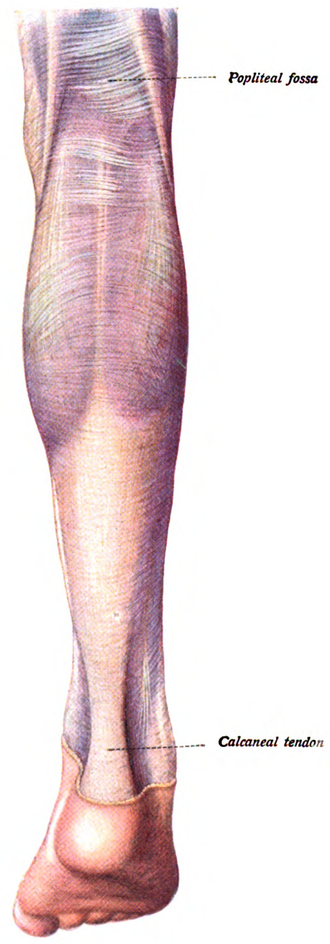 Triceps surae muscle - Posterior view of the human calf with the triceps surae. (Two heads of the gastrocnemius visible at first)