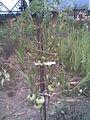 Solanales - Piros ökörszív paradicsom (Solanum lycopersicum; syn. Lycopersicum esculentum) 2 - 2011.09.07.jpg