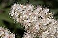 Sorbaria sorbifolia - fleurs.jpg
