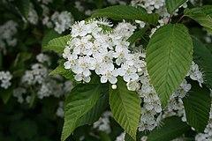 Sorbus-alnifolia-flowers.JPG