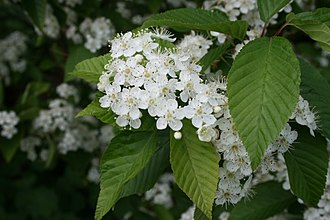 Sorbus alnifolia - Foliage and flowers