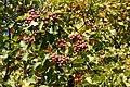 Sorbus torminalis Weinsberg 20070929 6.jpg