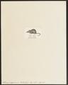 Sorex pygmaeus - 1700-1880 - Print - Iconographia Zoologica - Special Collections University of Amsterdam - UBA01 IZ20900137.tif