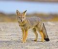 South american grey fox.jpg