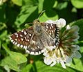 Southern Grizzled Skipper. Pyrgus malvoides. Hesperiidae - Flickr - gailhampshire (1).jpg