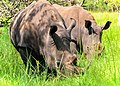 Southern White Rhino, Uganda (22301720288).jpg