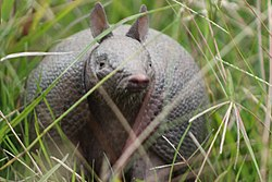 Southern long-nosed armadillo.jpg