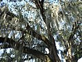 Spanish Moss in Audobon.jpg