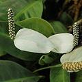 Spathiphyllum floribundum-IMG 3423.jpg