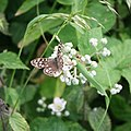 Speckled Wood (Pararge aegeria) - geograph.org.uk - 472600.jpg