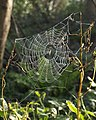 Spider's web, Greenacres - geograph.org.uk - 1619690.jpg