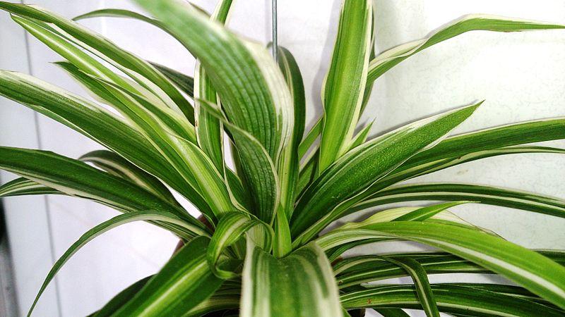 File:Spider Plant (Chlorophytum comosum).jpg