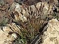 Spike woodrush, Luzula spicata (24338308782).jpg