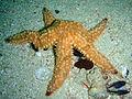 Spiny starfish at Partridge Point P7190481.JPG