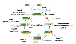 Sporulation in Bacillus subtilis - Fig1. The sporulation process of Bacillus subtilis