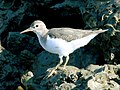 Spotted Sandpiper (Actitis macularia) RWD.jpg