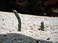 Spotted garden eels at the Seattle Aquarium.jpg