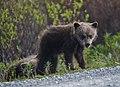 Spring cubs alongside the Denali Park Road (7edd5cfc-d7d5-4a0b-a90f-e07e8a19b95f).jpg