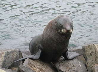 Arctocephalus forsteri - Image: Squinting seal