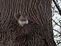 Squirrel in Prospect Park (92545).jpg