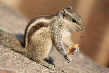 Squirrel with Roti.jpg