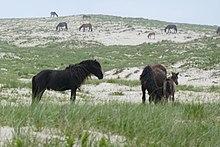 Stallion and harem on Sable Island.jpg