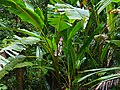 Stand of Wild Banana Trees (Musa campestris) (14952283734).jpg