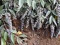 Starr-000706-0069-Buddleja madagascariensis-fruits-Kula-Maui (24422154402).jpg