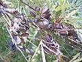 Starr-020630-0052-Grevillea robusta-seed capsules-Hui Noeau Makawao-Maui (24254750470).jpg
